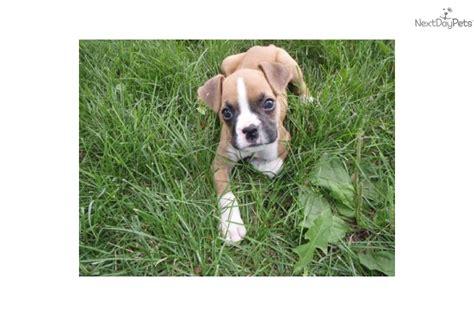 mini boxer puppies for sale boxer puppy for sale near des moines iowa 69f21ed2 b841