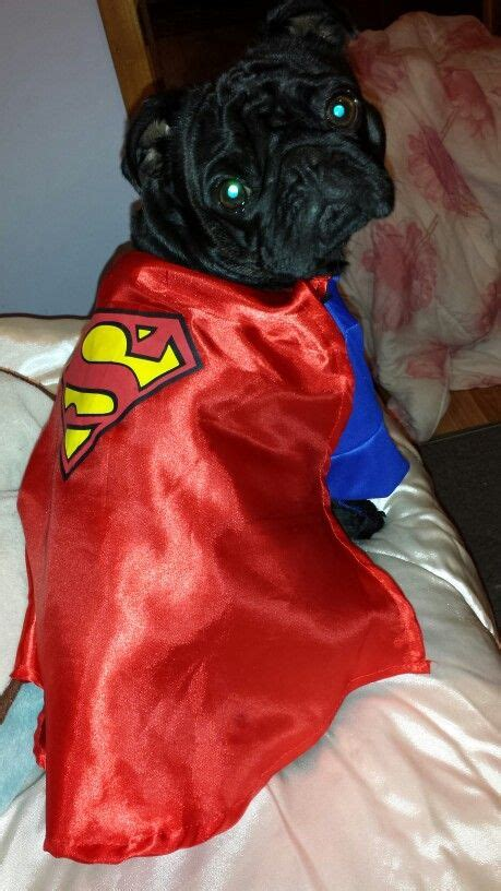 pug superman costume 17 best images about on agree with and throw pillows
