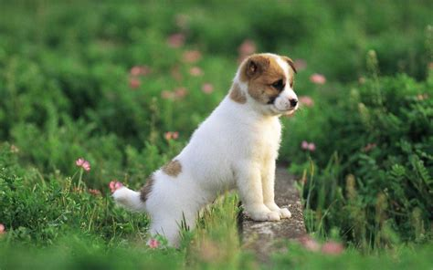 puppy background hd wallpapers hd puppy wallpapers