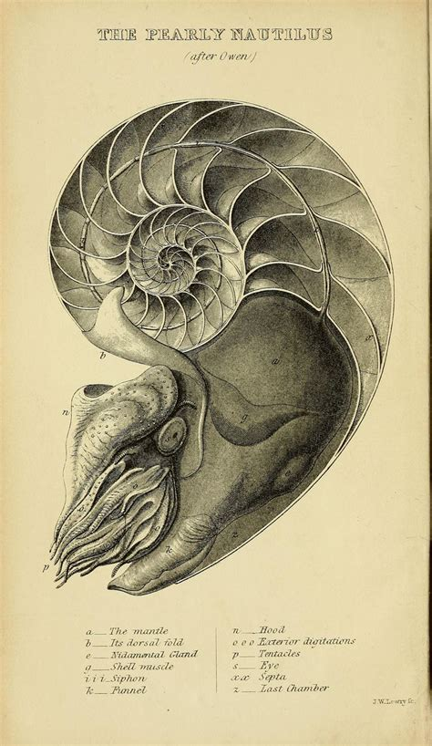 Muschel Tafeln by Die Besten 25 Nautilus Ideen Auf Muschel