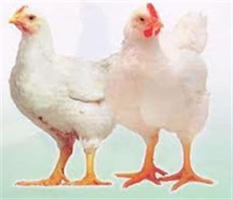 Jasa Potong Ayam tips sukses usaha beternak ayam potong sukses kuliah sambil bisnis kuliah bisnis