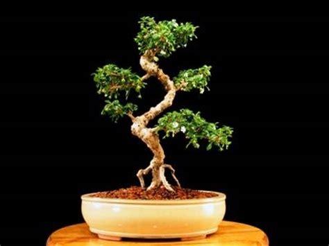 bonsai fiori bianchi fiori appassiti bonsai carmona domande e risposte bonsai