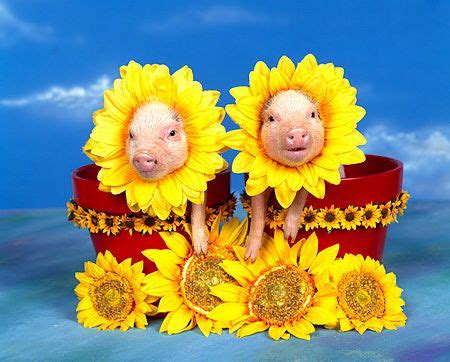 pigs and sunflowers...my two favs!! | piggies | pinterest