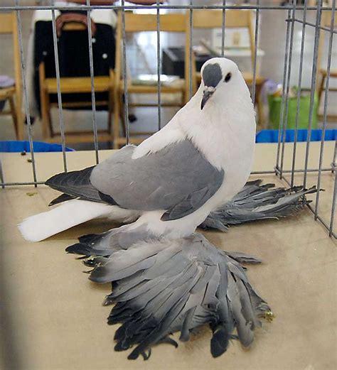 Pigeon 2 Pa 17 b 228 sta bilder om حمام طيور زينه غية p 229 svart lost och rats