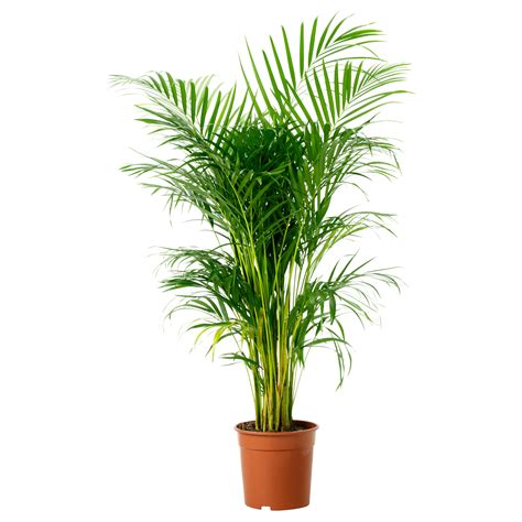potted plants chrysalidocarpus lutescens potted plant areca palm 24 cm