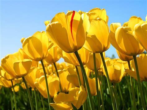 fiore giallo significato tulipano giallo significato fiori caratteristiche