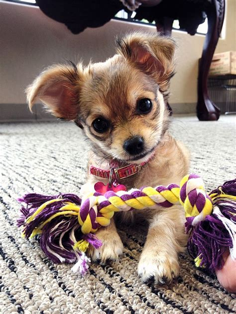 how many puppies do chihuahuas the time 89 best images about longhaired chihuahua on