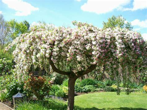 apfelbaum im garten h 228 ngeb 228 ume im garten f 252 r eine romantische atmosph 228 re