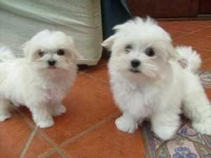 pomeranian puppies for free adoption in chennai beautiful yorkie puppiesfor free adoption