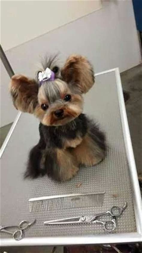 yorkie hair cut chart 40 best asian fusion grooming images on pinterest