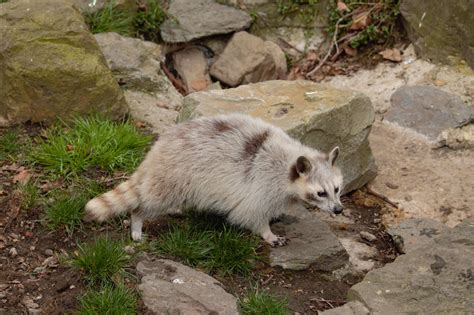 what color are raccoons raccoon mutation color by ymia the cheetah