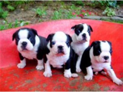 grey boston terrier puppies for sale boston terrier puppies for sale