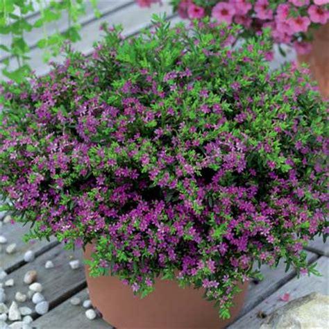 Garden Bunga Hias jual tanaman hias bunga purple hawaiian