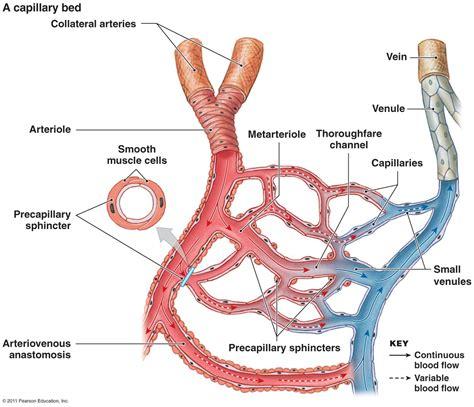 diagram of a capillary a simple capillary bed diagram the cardiovascular system