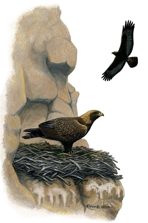 golden eagle eyrie drawing by kalen malueg