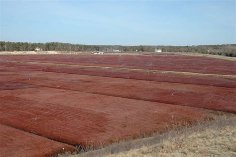 cranberry bogs cape cod panoramio photo of cranberry bogs cape cod ma