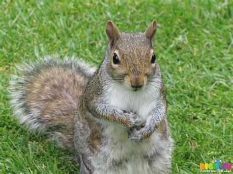 up squirrel picture sx06611 grey squirrel sciurus carolinensis up 20090605 cardiff