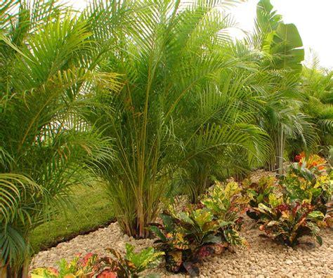 areca palm privacy palm areca palm palm trees for sale