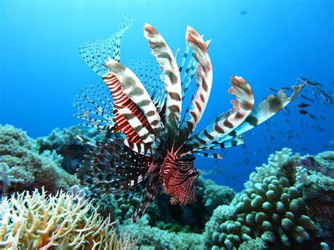 foto dive free photo lionfish scuba diving underwater free