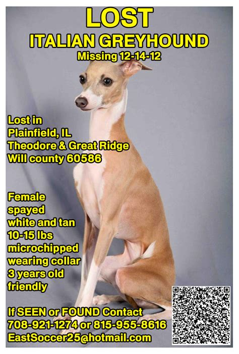lost dogs illinois lost italian greyhound in plainfield il romp italian greyhound rescue chicagoromp