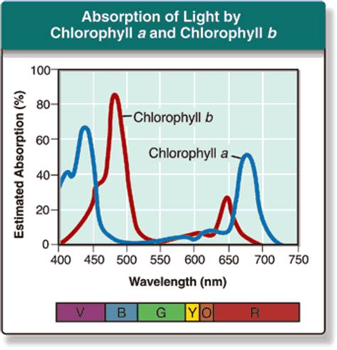 chlorophyll absorbs light well in the cosbiology lesson 5 01 chemical equation for