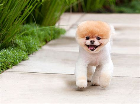 can all pomeranians look like boo an with boo the world s cutest milk