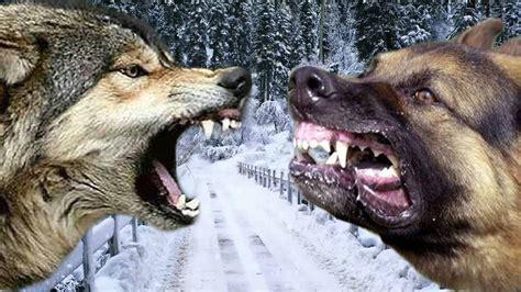vs wolf german shepherd vs wolf who would win in a fight