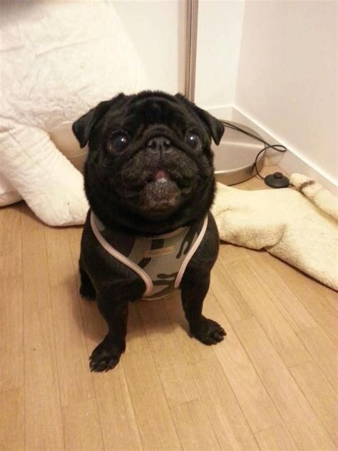 black pug soft uk 17 best images about pugs in our harness s bandanas on posts army camo