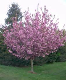 royal burgundy japanese flowering cherry