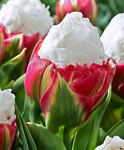 fiore tulipani tulipani a fiore doppio bakker