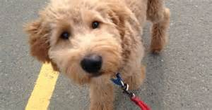 goldendoodle puppy throwing up goldendoodle gave one of these cuties a bath today at