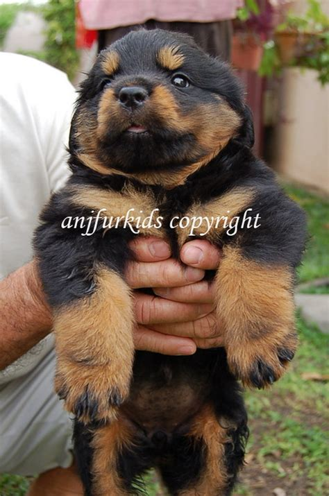 rottweiler shih tzu mix shih tzu breed photo breeds picture