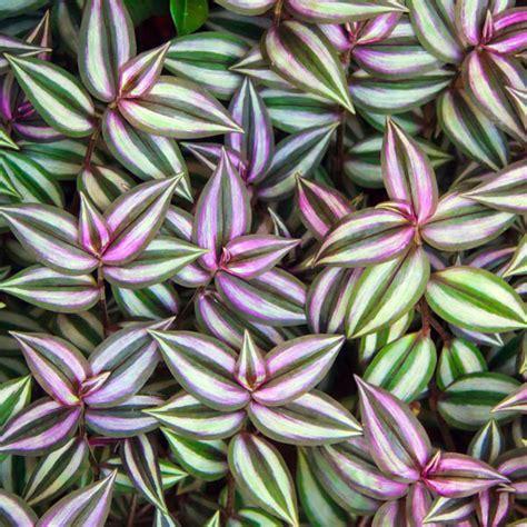 Best House Plant by Purple Wandering Jew Wandering Jew Inch Plant Zebrina