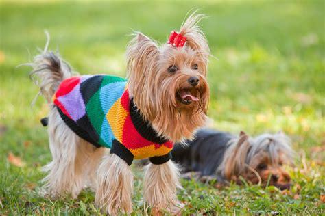yorkie con chihuahua las 5 razas de perros m 225 s comunes en espa 241 a nombres de perros