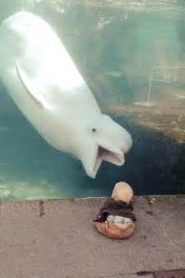 interesting photo of the day beluga whale vs baby at the mystic aquarium