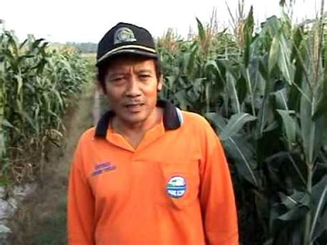 Pupuk Organik Grow More pupuk organik d i grow aplikasi pada tanaman jagung di