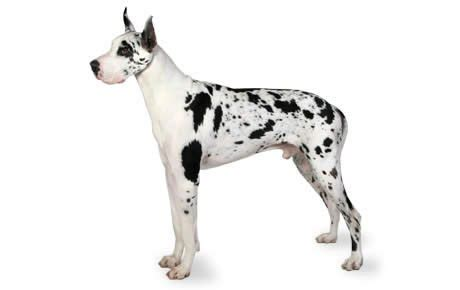 great dane dogs great dane dog breed info pictures petmd great dane dog breed information pictures