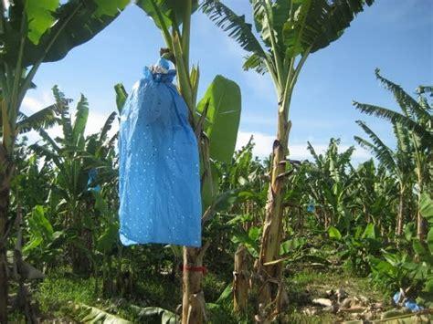 Benih Pisang Cavendish Malaysia anim agro technology balut tandan pisang