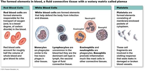 blood cells diagram section 4 tissues