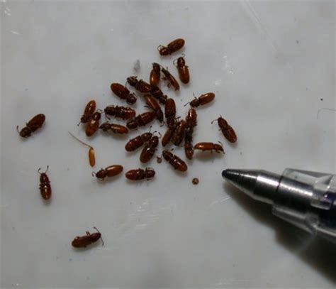 Pantry Mite by Grain Beetle Budget Pest Pittsburgh Pa