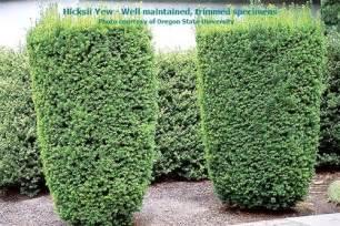 hicksii upright yew