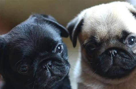 black or fawn pug black fawn pug puppies pugs litle pups