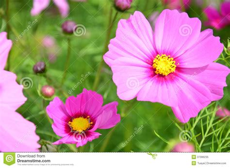 fiori thailandesi cosmos flowers field at countryside nakornratchasrima