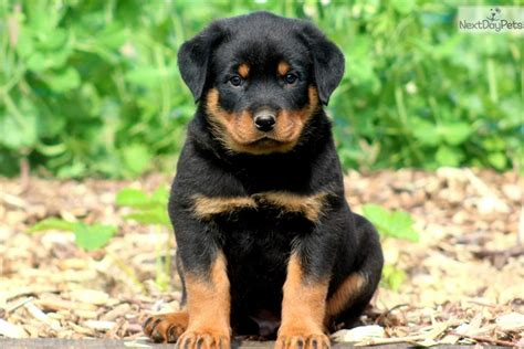 rottweiler puppies for sale oklahoma akc rottweiler puppies for sale rottweiler puppy in breeds picture