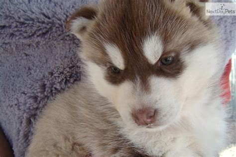 siberian husky puppies for sale in ky husky puppies for sale in northern ky wroc awski informator internetowy wroc aw