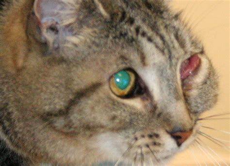 has swollen eye my cat has a swollen cheek right left eye i noticed it when i got home from