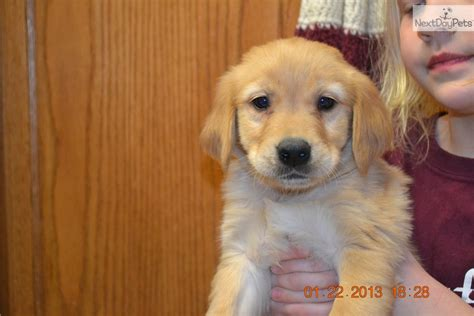 golden retriever breeders south dakota golden retriever puppy for sale near northeast sd south dakota 4850b639 5b31