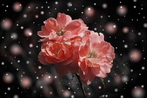 wallpaper daun pink gambar cabang mekar embun menanam daun bunga mawar