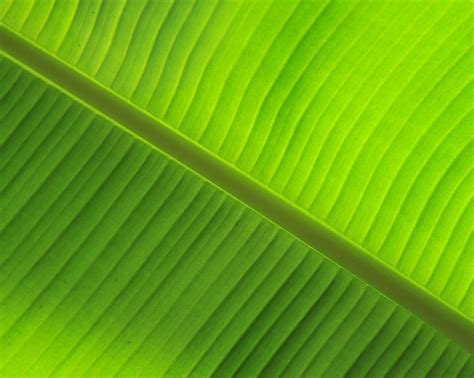 bananas leaf wallpaper banana leaf by daniel sommerlad desktop wallpaper
