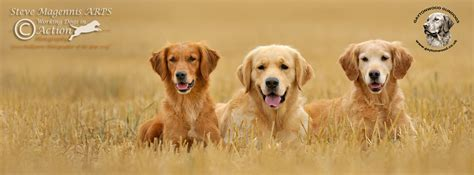 how does the average golden retriever live price of golden retriever puppies uk dogs in our photo
